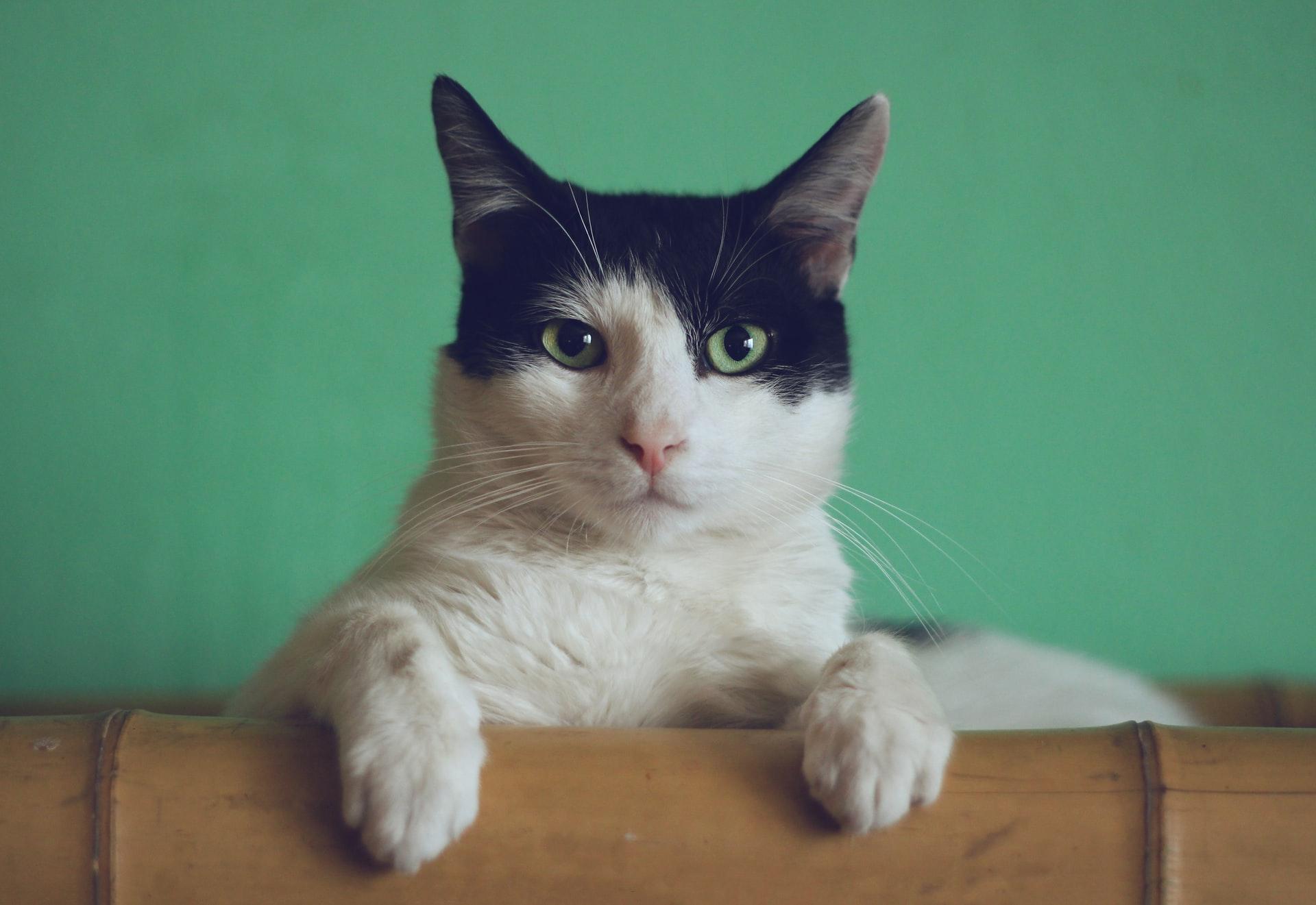 hvad koster det at aflive en kat